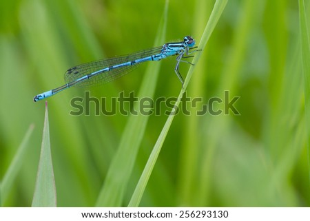 Male of the common blue azure damselfly on perch, Germany - stock photo