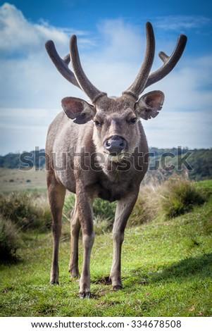 Male of the Sri Lankan sambar deer - stock photo