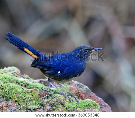 Male of White-bellied redstart (Hodgsonius phaenicuroides) the beautiful blue bird about to jump off the rock with fawning tail - stock photo