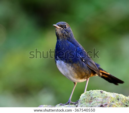 Male of White-bellied Redstart (Hodgsonius phaenicuroides) the beautiful blue bird standing on the mossy rock showing its front feathers down to its belly - stock photo