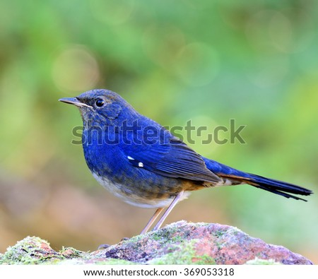 Male of White-bellied redstart (Hodgsonius phaenicuroides) the beautiful blue bird standing on the rock on green blur and bokeh background - stock photo