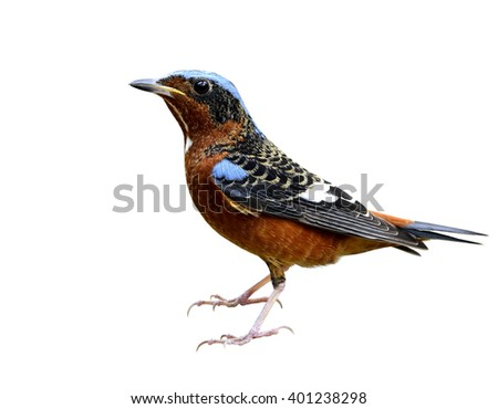 Male of White-throated rock thrush (Monticola gularis) the colorful bird fully standing isolated on white background