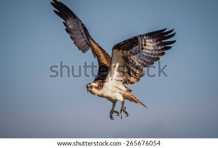 Male osprey coming in for a landing at dawn - stock photo