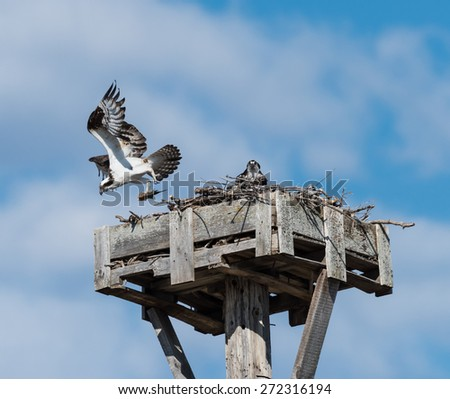 Male Osprey Taking Off from the Nest and Female Sitting on the Nest - stock photo