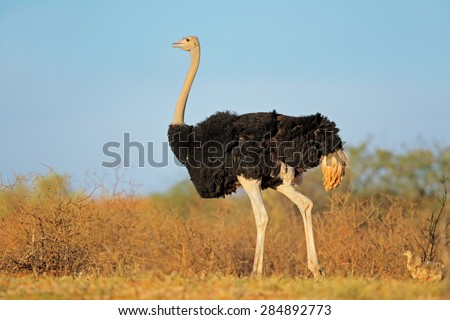 Male ostrich (Struthio camelus) with chicks,  Kalahari desert, South Africa