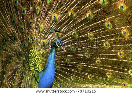 male Peacock - stock photo