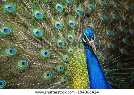 Male Peacock filling the frame with a colorful display of his feathers
