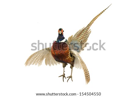 Male Pheasant (Phasianus colchicus) with wings outstretched in strut, isolated on white - stock photo