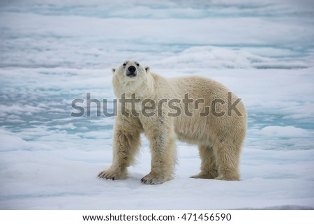 Male polar bear sniffs the air, in Spitsbergen, Norway