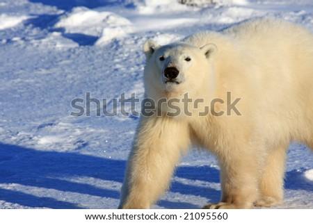 Male polar bear strutting on the snow in the arctic - stock photo