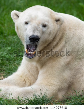 Male polar bear (Ursus maritimus) closeup with open mouth