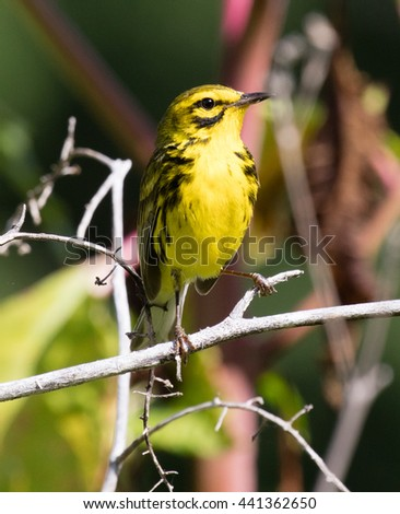 Male Prairie Warbler (Setophaga discolor) perched on a branch - stock photo