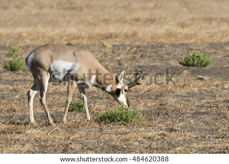 Male pronghorn (Antilocapra americana) grazing in the highland prairie, Grand Teton National Park, Wyoming, USA
