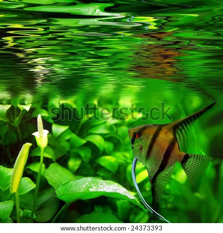 Male Pterophyllum that fertile eggs - stock photo
