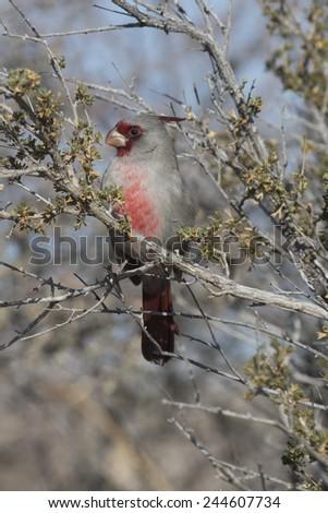 Male Pyrrhuloxia at Bosque del Apache National Wildlife Refuge in New Mexico USA - stock photo