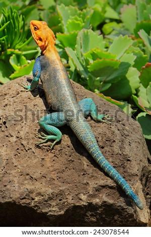 Male rainbow agama (Agama agama) in bright breeding colors, Amboseli National Park, Kenya - stock photo