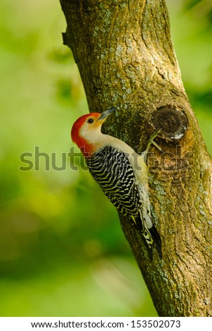 Male Red-bellied Woodpecker clinging to a tree