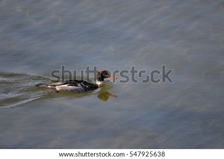 Male Red-breasted Merganser swimming