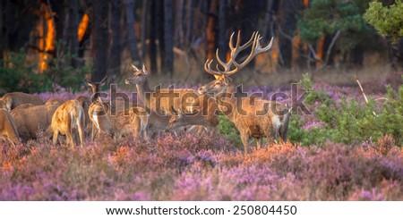 Male red deer (Cervus elaphus) guarding his flock of deer during mating season on the Hoge Veluwe, Netherlands - stock photo