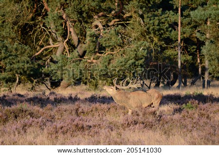 Male red deer (Cervus elaphus) with antlers in the forest with heather during the rutting season in national park Hoge Veluwe in the Netherlands. - stock photo