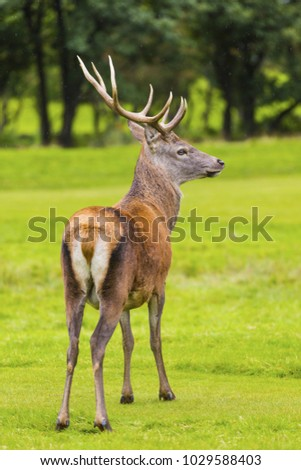 Male Red deer in natural environment on Isle of Arran, Scotland.