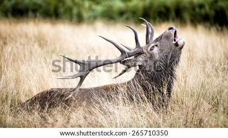 Male red deer resting in the wild forest. The male red deer is called Stag or Hart. - stock photo