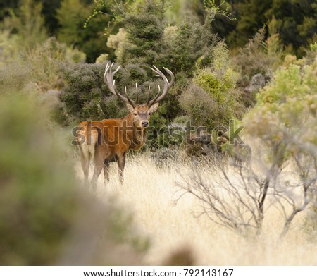 Male Red Deer, Stag (Cervus Elaphus)