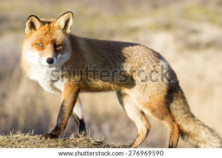 Male Red Fox - stock photo
