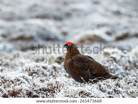 Male Red Grouse in snow in Scottish Highlands. - stock photo