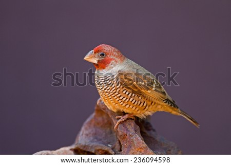 Male Red-Headed Finch perched on rock; Amadina erythrocephala