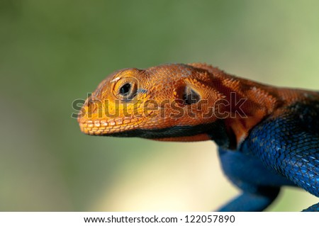 Male Red-Headed rock Agama Lizard in breeding display. Ruaha National Park, Tanzania. - stock photo