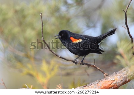 Male Red-winged Blackbird (Agelaius phoenicius) calling from a perch - Grand Bend, Ontario - stock photo