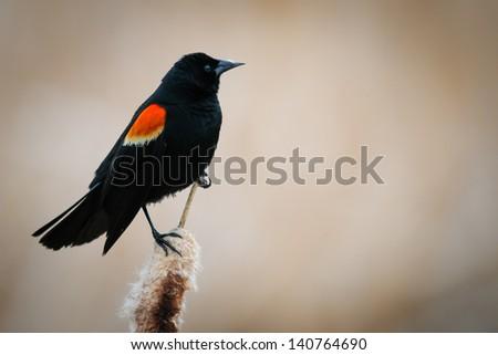 Male Red-winged Blackbird Alberta Canada - stock photo