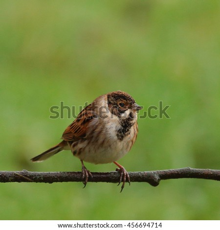 Male Reed Bunting perched on a thin branch against a grassy background - stock photo