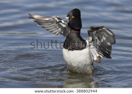 Male Ring-necked Duck flapping wings - stock photo