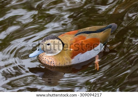 Male ringed teal from South America swimming on water