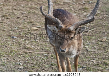 Male Roe Mule Deer while looking at you