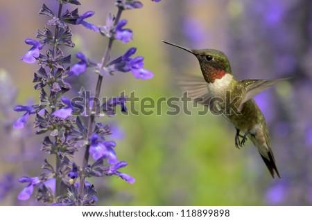 Male Ruby-throated Hummingbird - stock photo