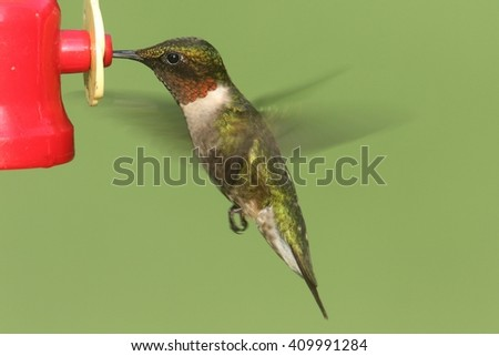 Male Ruby-throated Hummingbird (archilochus colubris) in flight at a feeder with a green background - stock photo