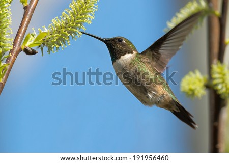 Male Ruby-throated Hummingbird hovering while feeding from a fresh bud. - stock photo