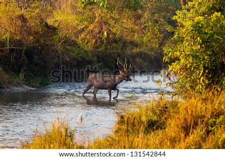 Male Sambar deer crossing a jungle river at Jaldapara Wildlife Sanctuary during the golden hour of sunrise - stock photo