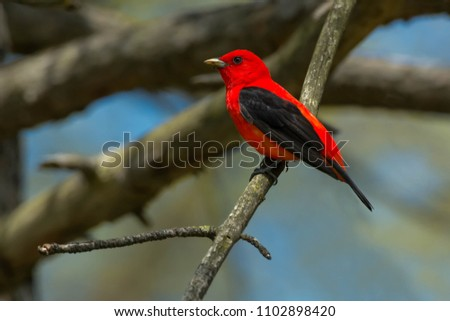 Male Scarlet Tanager perched on a dead branch. High Park, Toronto, Ontario, Canada.