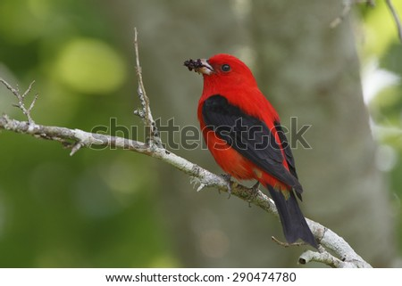 Male Scarlet Tanager (Piranga olivacea) eating mulberries during a migration stopover - High Island, Texas - stock photo