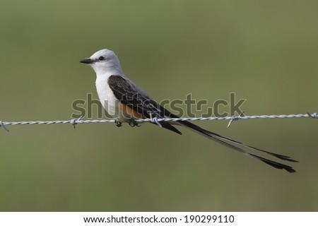 Scissor tailed flycatcher clipart - photo#19