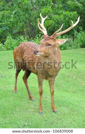 male sika deer - stock photo