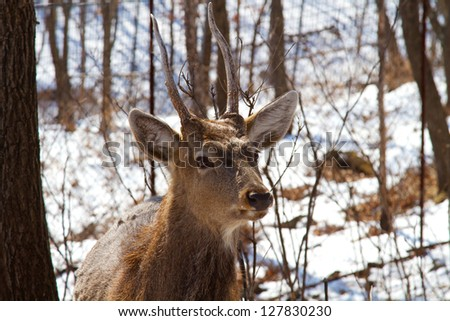 Male sika deer in the winter woods
