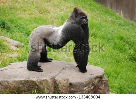 Male silverback gorilla at the zoo, displaying defensive behavior - stock photo