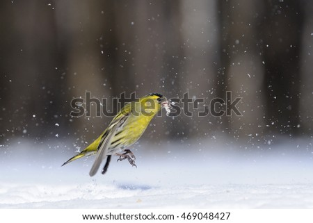 Male siskin (Carduelis spinus) in snow. Moscow region, Russia