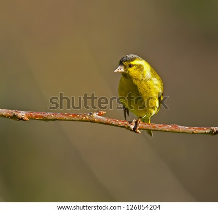 Male Siskin perched on a branch. - stock photo