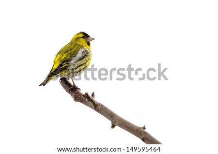 Male siskin sitting in a tree isolated on white background - stock photo